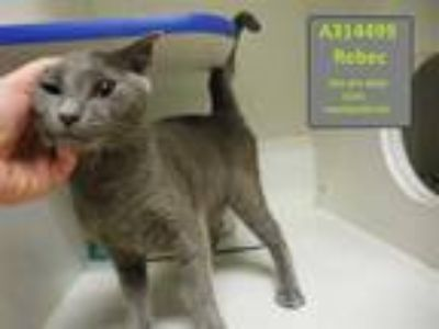 Adopt REBIC a Gray or Blue Domestic Shorthair / Mixed (short coat) cat in