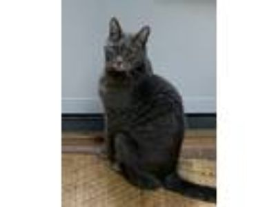 Adopt Granite a Gray or Blue Domestic Shorthair cat in Lacey, WA (25328810)