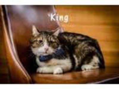 Adopt King a Brown or Chocolate Domestic Shorthair / Domestic Shorthair / Mixed