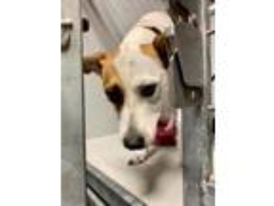 Adopt Baby Blue a Parson Russell Terrier, Mixed Breed