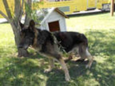 Adopt IVAR a Black - with Tan, Yellow or Fawn German Shepherd Dog / Mixed dog in