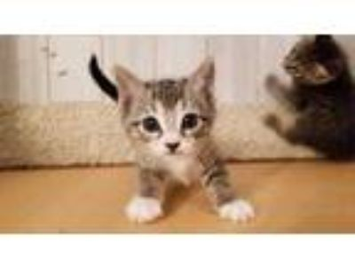 Adopt Billy Jean a Brown or Chocolate Domestic Shorthair / Domestic Shorthair /