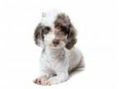 Adopt Charleston a Poodle