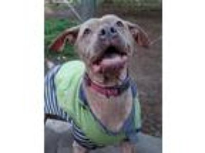 Adopt Sadie a Brown/Chocolate - with Tan Pit Bull Terrier / Mixed dog in