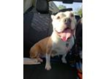 Adopt Marge a White - with Tan, Yellow or Fawn American Pit Bull Terrier / Mixed