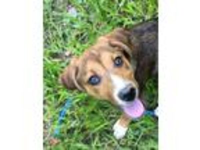 Adopt Chili-Available for a Meet and Greet! a Beagle, Catahoula Leopard Dog