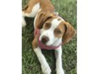 Adopt Luna a Tan/Yellow/Fawn - with White American Staffordshire Terrier /