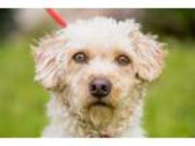 Adopt Comet a Cockapoo / Terrier (Unknown Type, Medium) / Mixed dog in San