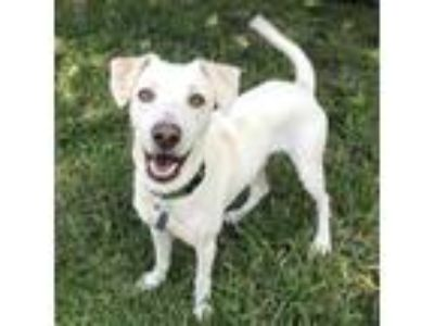 Adopt Ruston - Adopted! a White Whippet / Mixed dog in San Diego, CA (25504678)