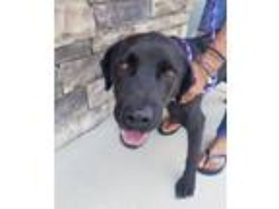Adopt Spencer a Black Labrador Retriever