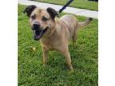 Adopt Thor a German Shepherd Dog, Cattle Dog