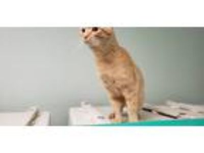 Adopt Tobias a Orange or Red Tabby American Shorthair (short coat) cat in