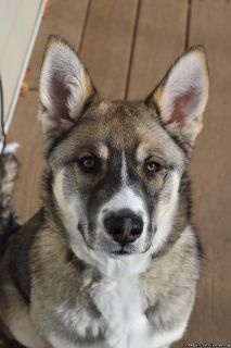 Husky German Shepherd Mix 5 month old Female Puppy