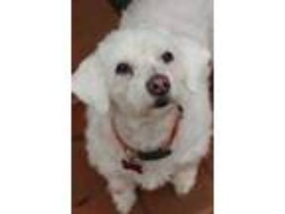 Adopt Bebe a White Bichon Frise / Poodle (Miniature) / Mixed dog in New Orleans