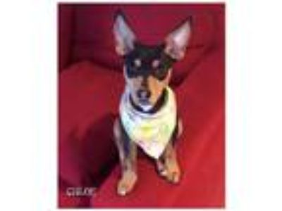 Adopt Chloe a Black - with Tan, Yellow or Fawn Miniature Pinscher / Mixed dog in