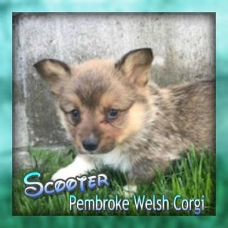 Scooter Male ACA Pembroke Welsh Corgi