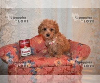 Poodle (Toy) PUPPY FOR SALE ADN-128547 - AKC TOY FULL REGISTRATION