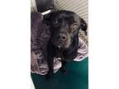 Adopt Valentino a American Staffordshire Terrier, Boxer
