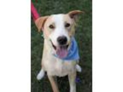Adopt Fletch -Happy + Handsome Boy a Tan/Yellow/Fawn - with White Labrador