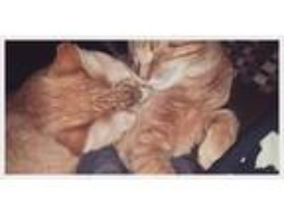 Adopt Max and Bruno a Orange or Red Tabby Domestic Shorthair / Mixed cat in