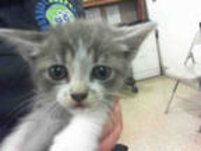 Adopt SATURN a Gray or Blue (Mostly) Domestic Shorthair / Mixed (short coat) cat