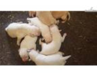 Part English AKC Yellow Lab Pups