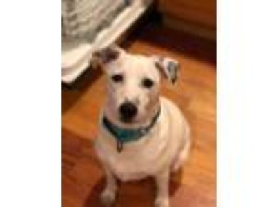 Adopt Cube a White Collie / Shepherd (Unknown Type) / Mixed dog in Seattle