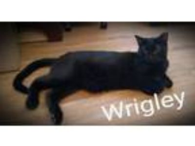 Adopt Wrigley a All Black Domestic Shorthair (short coat) cat in Bowie