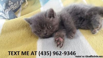 Neat%/ Adorable sweet Scottish fold kittens for sale