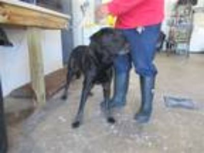 Adopt Mary Poppins a Labrador Retriever