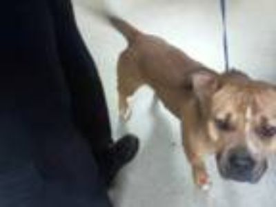 Adopt BRUNO a Brown/Chocolate - with White American Pit Bull Terrier / Basset