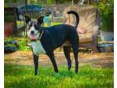 Adopt Sasha a Labrador Retriever, Hound