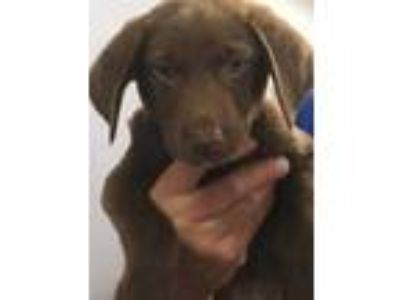 Adopt Alfred a Brown/Chocolate Labrador Retriever / Mixed dog in South Elgin
