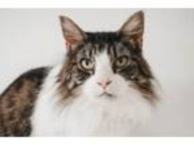 Adopt Mr. Cat a Domestic Long Hair