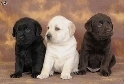 Graceful Labrador Retriever Puppies Available