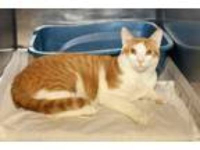 Adopt Jungle Jim a Domestic Short Hair