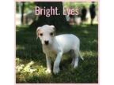 Adopt Bright Eyes a White - with Tan, Yellow or Fawn American Pit Bull Terrier /