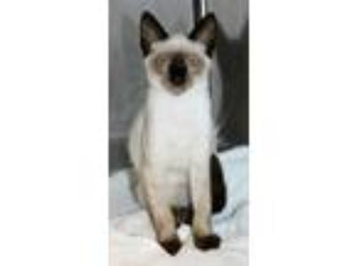 Adopt Si a Cream or Ivory Domestic Shorthair / Domestic Shorthair / Mixed cat in