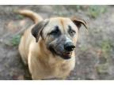 Adopt Alfred a Tan/Yellow/Fawn - with Black Labrador Retriever / German Shepherd