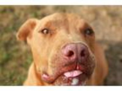 Adopt Kovu a Brown/Chocolate - with White American Pit Bull Terrier / Mixed dog