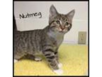 Adopt Nutmeg a Domestic Short Hair, Tabby