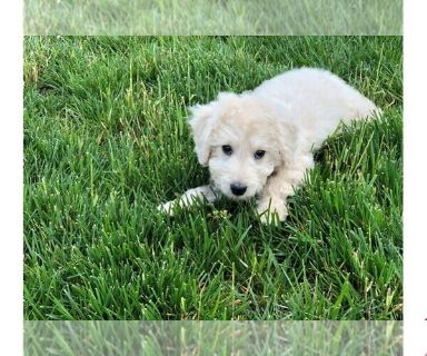 Golden Retriever-Poodle (Toy) Mix PUPPY FOR SALE ADN-129871 - Mini Goldendoodle Puppy Charter