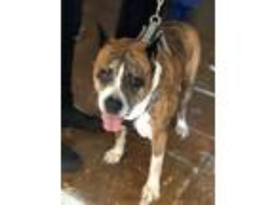 Adopt Petunia (boxer) a Brindle Boxer / Mixed dog in Whitestone, NY (23884521)