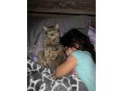 Adopt Cleo a Spotted Tabby/Leopard Spotted Domestic Shorthair cat in Chino