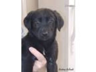 Adopt Chessie a Labrador Retriever