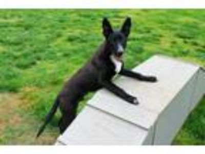 Adopt DONTE a German Shepherd Dog, Mixed Breed