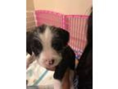 Adopt Hildi Spaces a Black - with White Border Collie / Terrier (Unknown Type