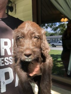 Labradoodle Puppies!!!