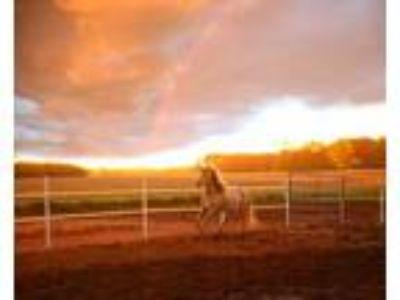 Adopt Babycakes a Appaloosa, Mustang