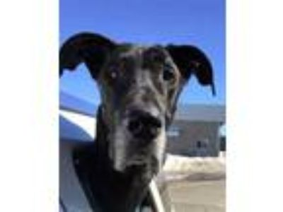 Adopt Murphy a Black Great Dane / Mixed dog in Inver Grove Heights